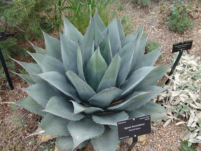 Agave THE CAVENDER DIARY