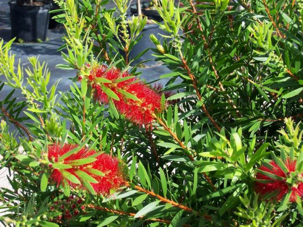 Bottle Brush Cluster