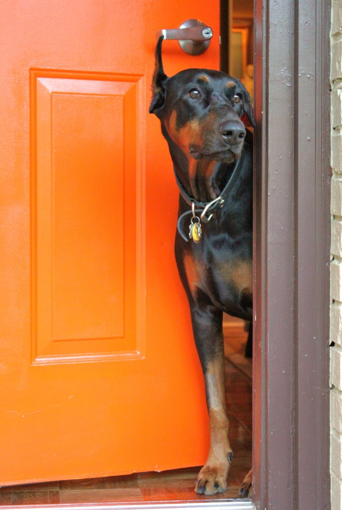 Doberman Likes the Orange Door