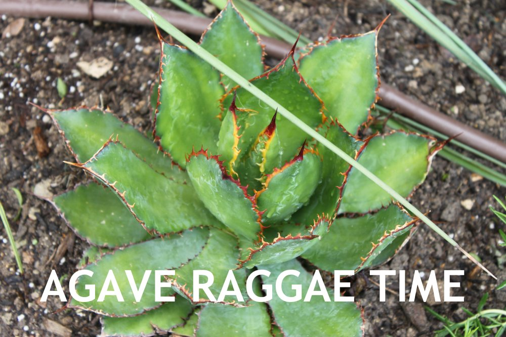 Agave Raggae Time