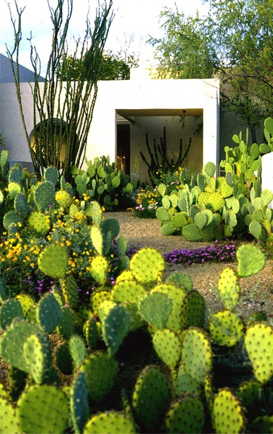 Courtyard filled With Paddle Cactus