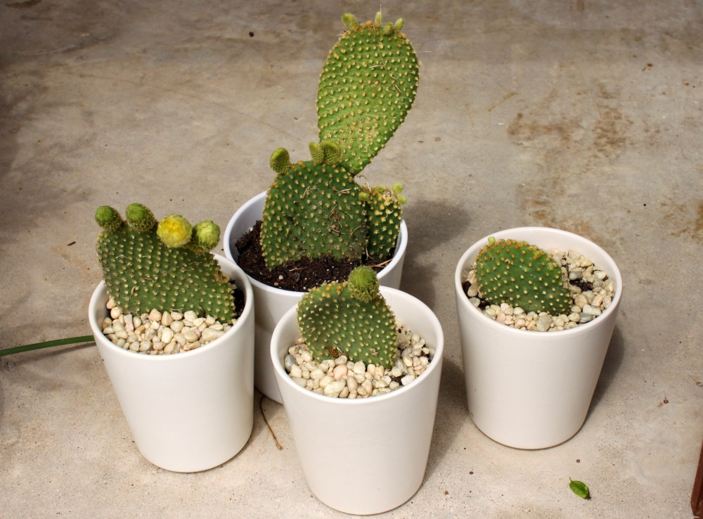 Pots with Bunny Ear Cactus Pieces