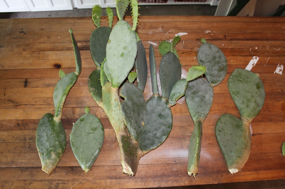 Prickly Pear Cactus rescued from the Trash Pile