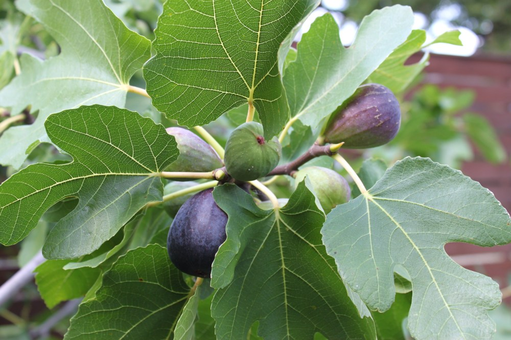 Figs Growing on the Tree in the Cavender Back Yard