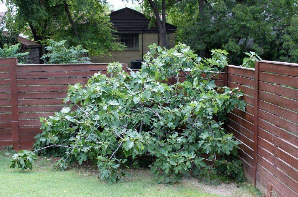Our Fig Tree in the Cavender Backyard