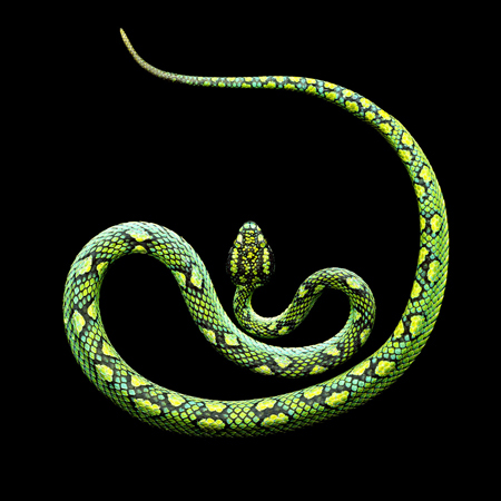 Ceylonese Palm Viper by Mark Laita