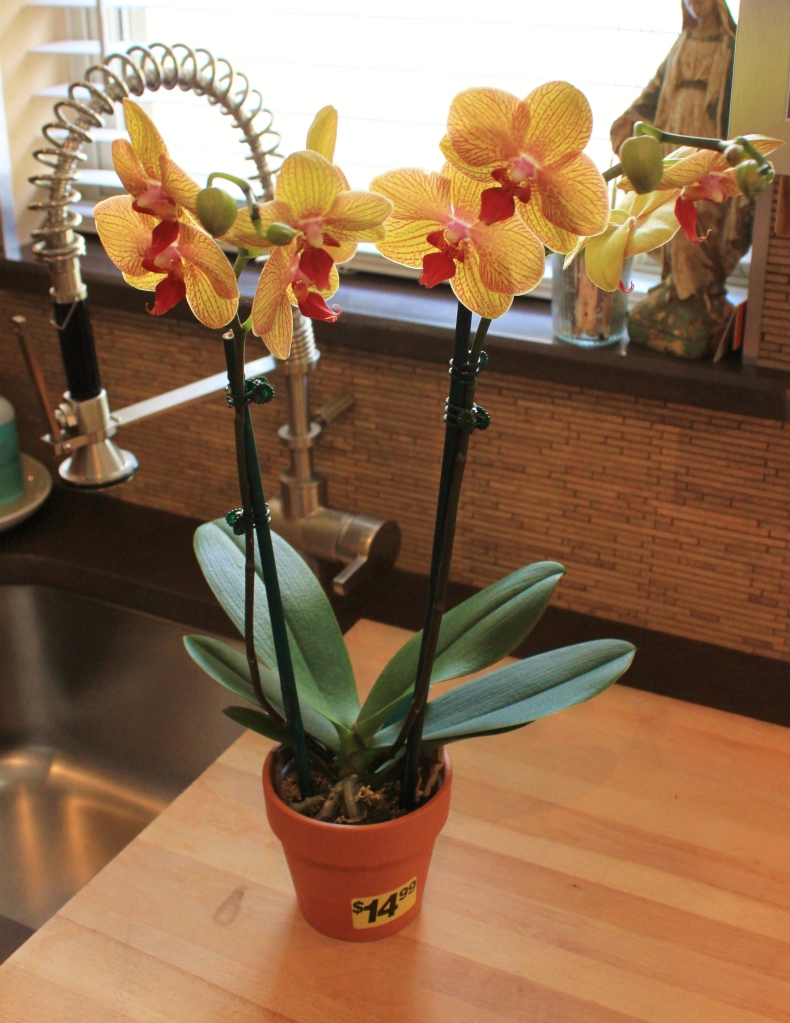 2 Stemed Potted yellow Phalo Orchid