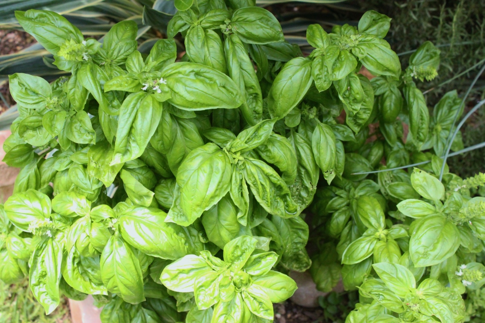 Basil Bush Growing in the Front Flower Bed