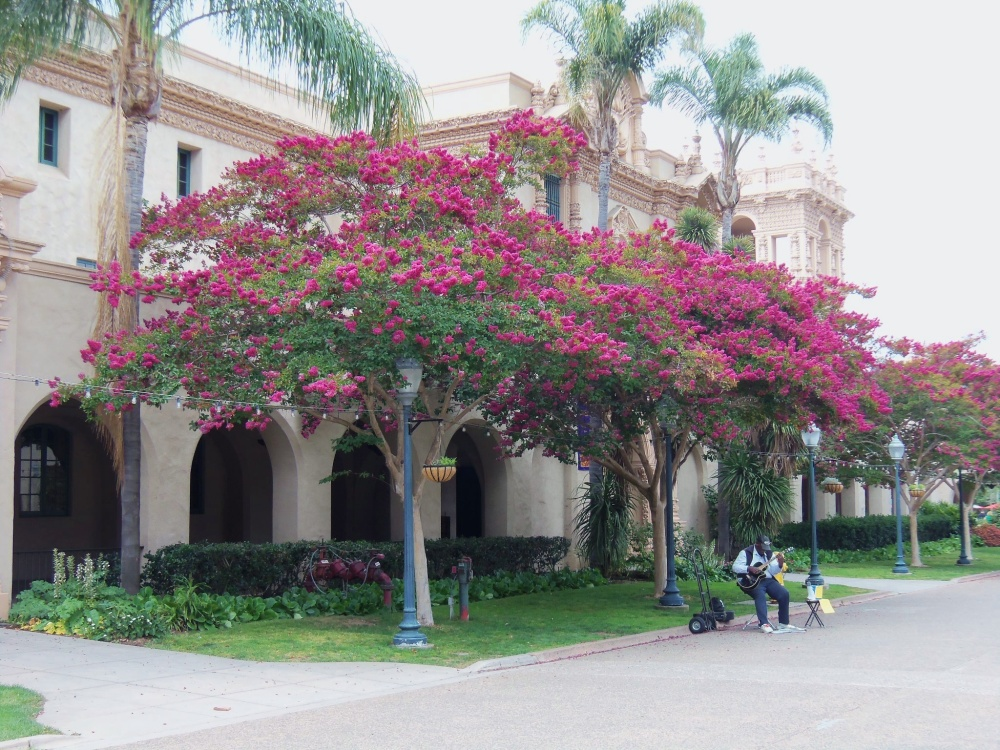 Blooming Crepe Myrtles in Balboa Park