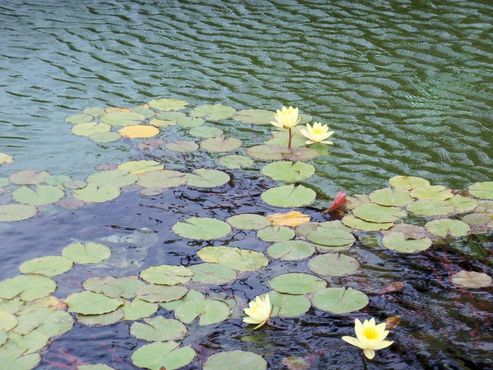 Water Lillies in the Reflecting Pond